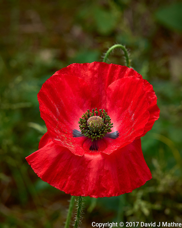 Red Poppy flower. Backyard spring nature in New Jersey. Image taken with a Leica T camera and 55-135 mm lens (ISO 100, 135 mm, f/10, 1/320 sec).