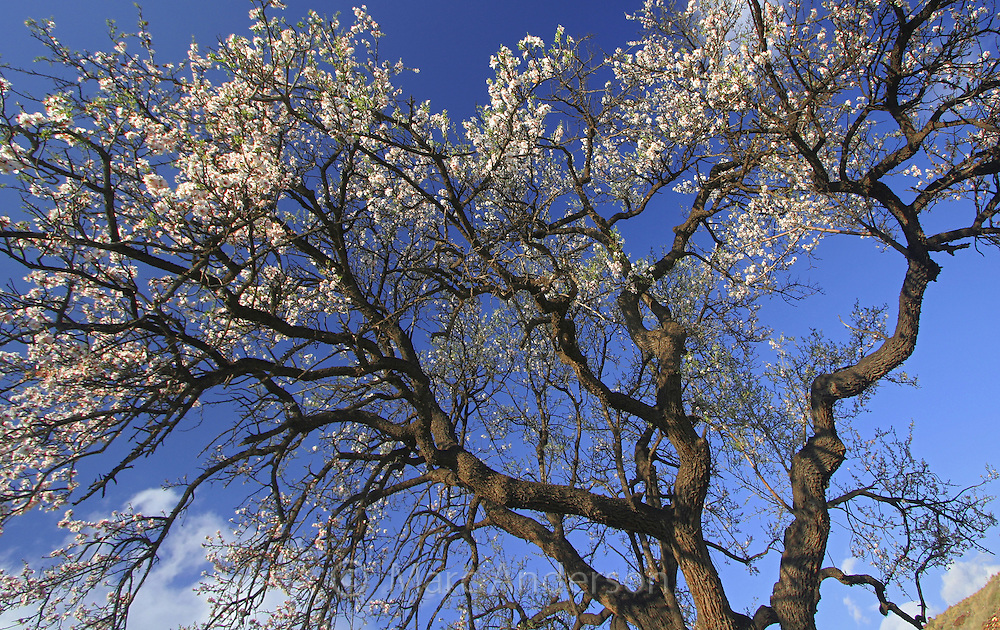 Almond tree in blossom in Andalucia, Spain.