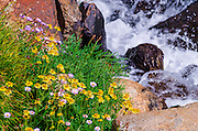 Wildflowers on the Bishop Pass Trail, John Muir Wilderness, Sierra Nevada Mountains, California USA