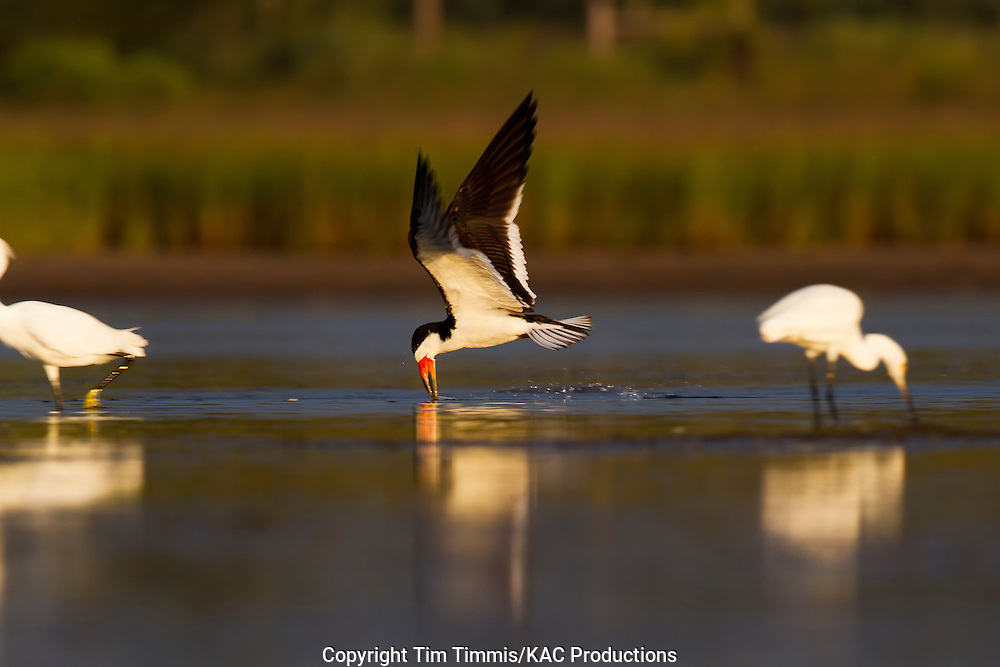 Black Skimmer, Rynchops niger, Bryan Beach, Texas gulf coast, skimming with beak in water, golden light