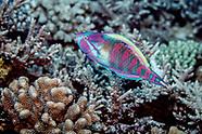 Scarus longipinnis (Highfin Parrotfish)