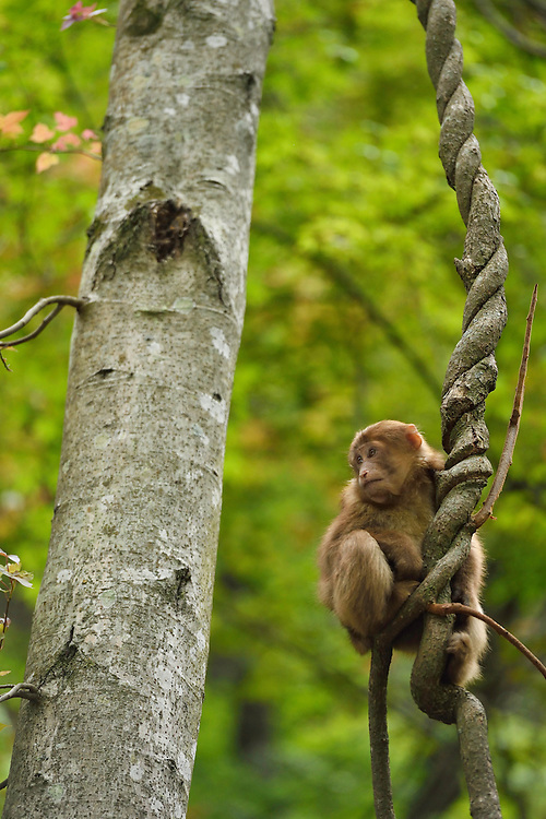 Tibetan macaque, or Chinese stump-tailed macaque, Macaca thibetana, Tangjiahe National Nature Reserve, NNR, Qingchuan County, Sichuan province, China