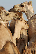 Early morning is the busiest time at the Camel Market. Tender camels.