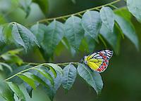 Common Jezebel, Delias eucharis, Bardiya National Park, Nepal