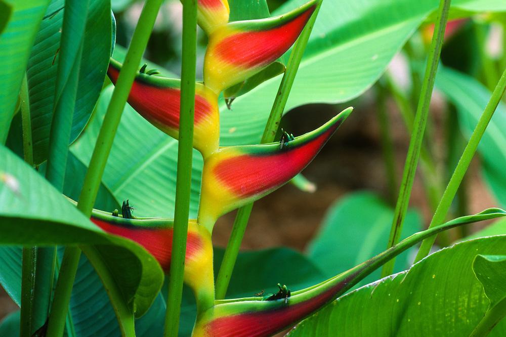 Heliconia (Heliconia wagneriana), Allerton Gaeden, National Tropical Botanical Garden, Kauai, Hawaii, US