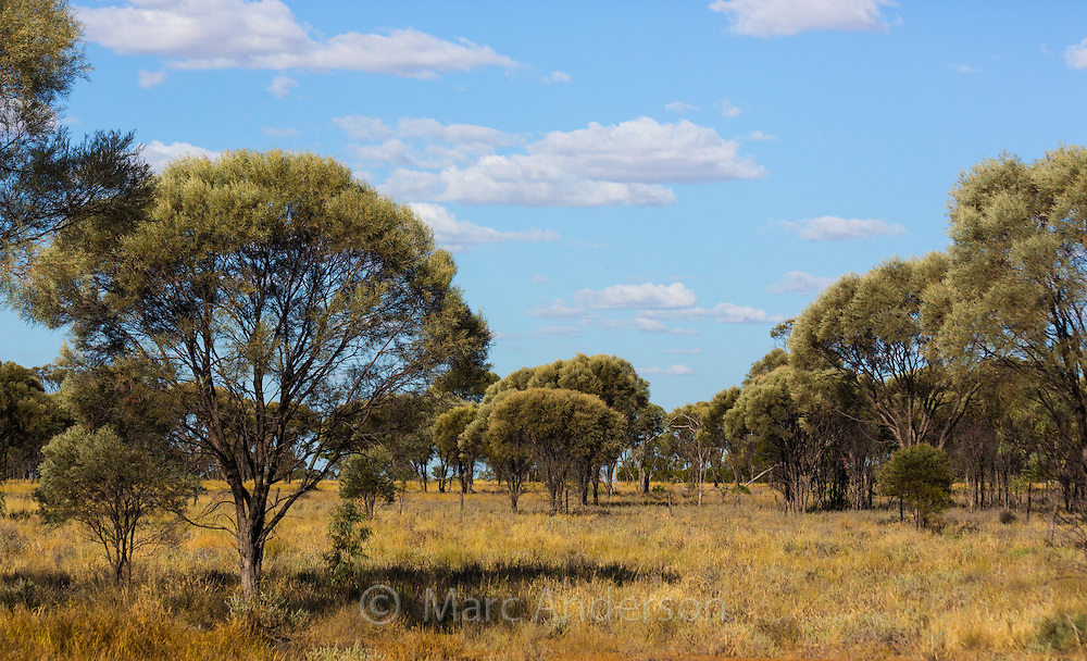 Brigalow (Acacia harpophylla) and grassland in the 'Brigalow Belt', Queensland's outback, Australia