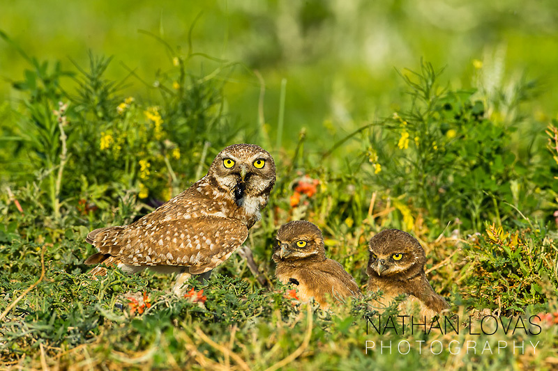 Burrowing owl and chicks at burrow; South Dakota.