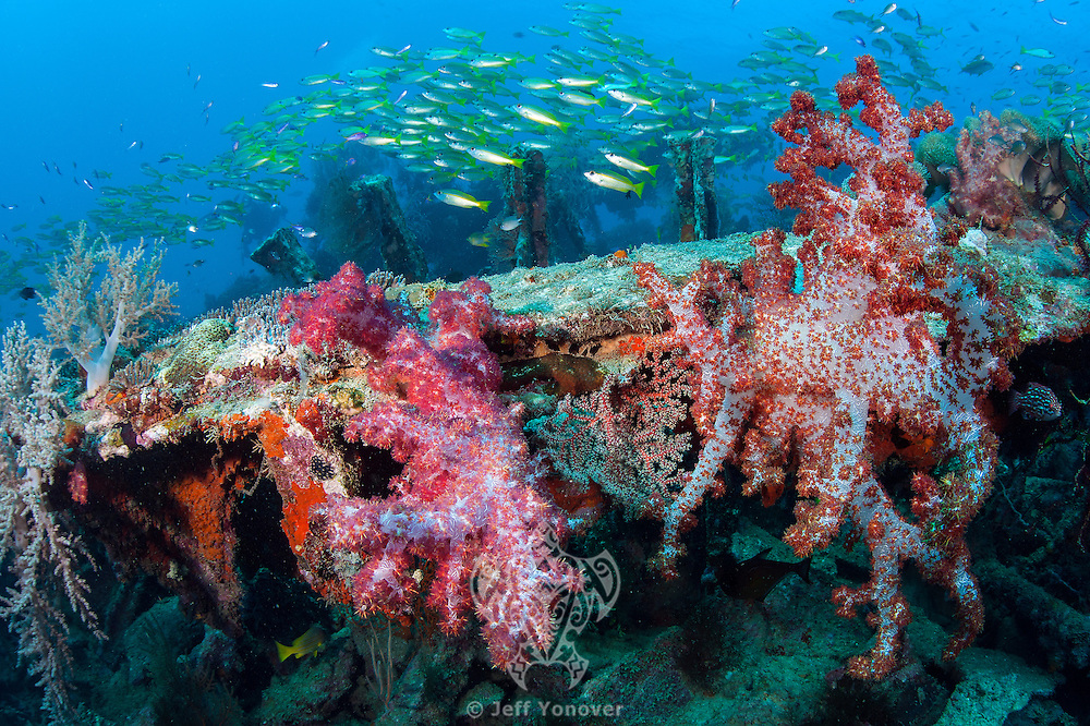 Soft Corals and Reef fish make a home out of Allied landing craft sunken after WWII.<br /> <br /> Shot in Indonesia