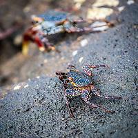 Immature Sally Lightfoot Crab