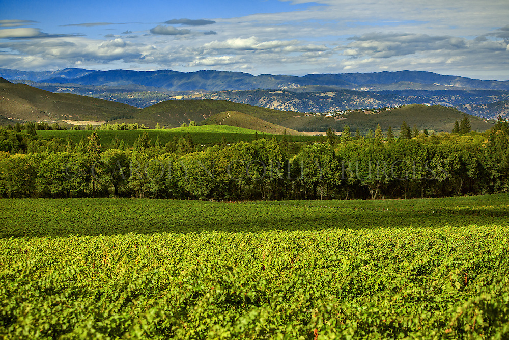 Beringer Vineyards Clear Mountain Vineyard just before harvest.
