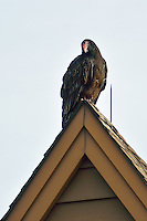 Turkey Vulture on a Rooftop Waiting to Warm in the Morning Sun. Image taken with a Nikon 1 V2 FT1 adapter and 70-200 mm f/2.8 VRII lens (ISO 160, 200 mm, f/2.8, 1/1600 sec).