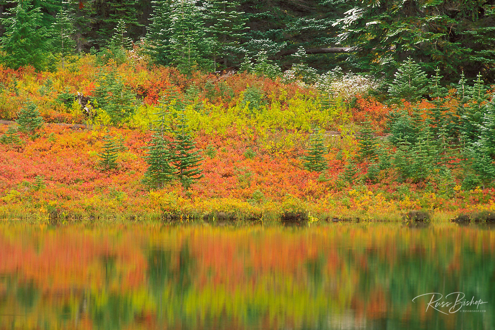 Fall colors and fresh powder on pines on the shore of Reflection Lake, Mount Rainier National Park, Washington
