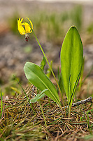 Glacier lilies are found in every western state in the continental United States except for Alaska, Arizona, and Nevada. They are also found in the Canadian provinces of British Columbia and Alberta. This one was photographed very literally on the Continental Divide in Wyoning's Yellowstone National Park.