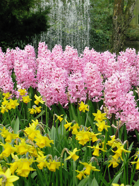 Daffodil and Hyacinth at Keukenhof, Holland