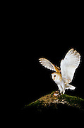A wild barn owl (Tyto alba) photographed on the Sauvie Island State Wildlife Refuge, Sauvie Island, Oregon.