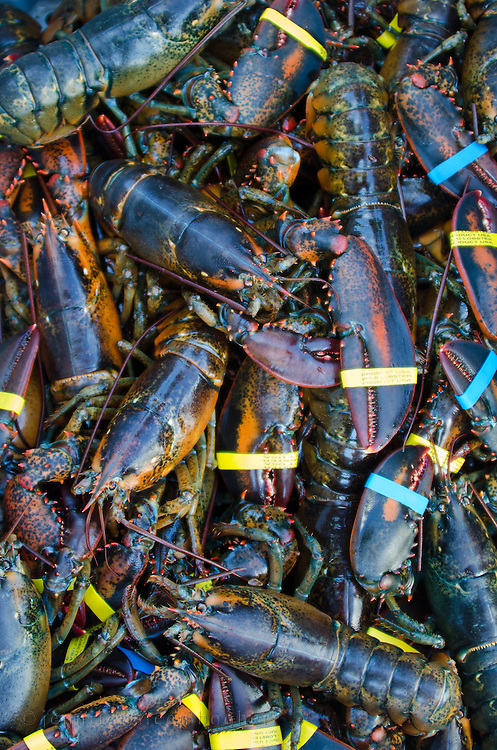Fresh-caught, live lobsters with claw bands, Southwest Harbor, Maine.
