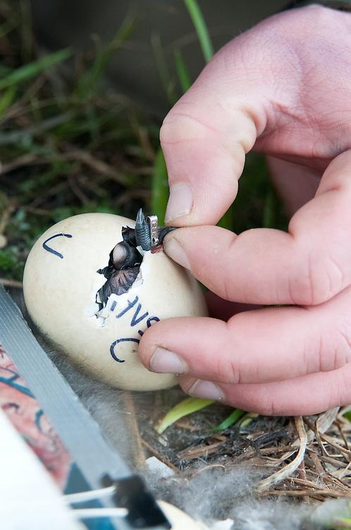 Black Brant; Branta bernicla nigricans, gosling being web tagged, Yukon Delta NWR, Alaska