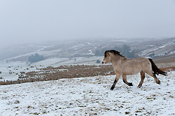 © Licensed to London News Pictures. 11/02/2017. Mynydd Epynt, Powys, UK. Welsh ponies are seen on the high moorland of the Mynydd Epynt range. Photo credit: Graham M. Lawrence/LNP
