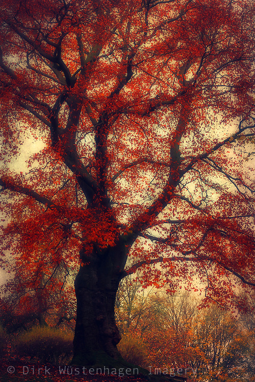 Dreamy copper beech tree with fiery red leaves - ttexurized photograph