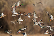 Pintails, widgeon and mallards in flight