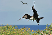 Female Frigatebird in flight