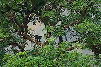 Red-eared Guenon (Cercopithecus erythrotis erythrotis)..Bioko Island, Equatorial Guinea..Endangered Species (IUCN Red List: VU).