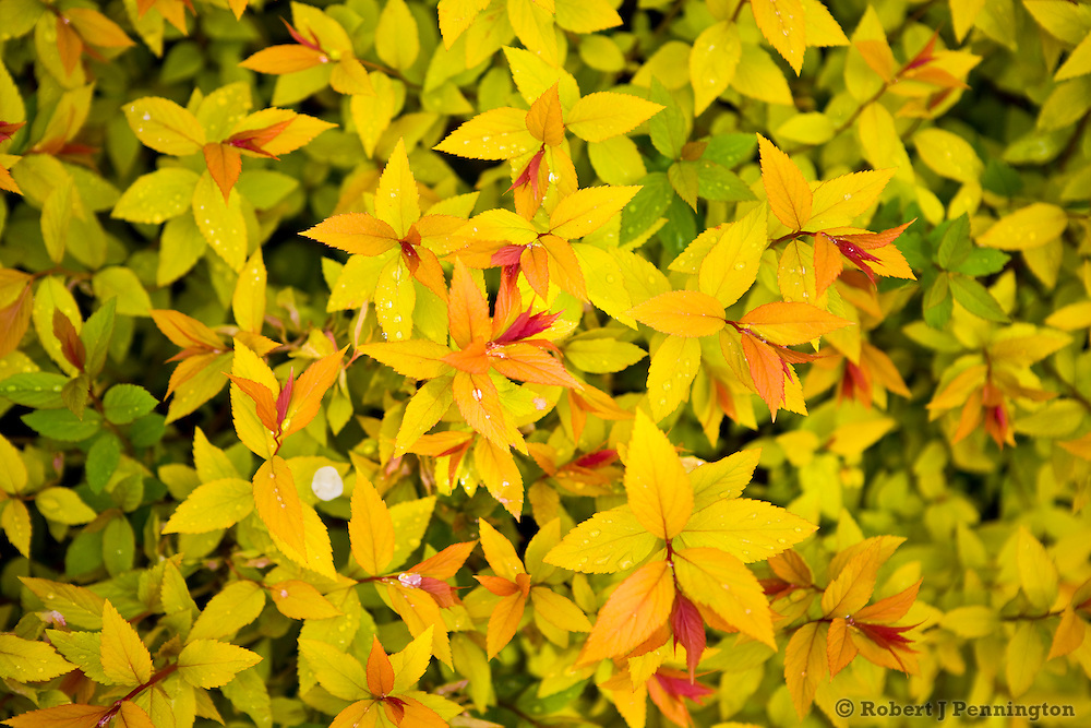 A mass of yellow Spring foliage in an outdoor garden.
