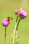 American Lady butterfly on a thistle flower