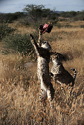 NAMIBIA KAMANJAB 27APR14 - Cheetahs fight for a piece of meat during a feeding session at a large enclosure at the Ojitotongwe Cheetah farm near Kamanjab, Namibia.<br /> <br /> <br /> <br /> jre/Photo by Jiri Rezac<br /> <br /> <br /> <br /> &copy; Jiri Rezac 2014