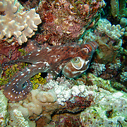 Octopus seen during a dive on the Great Barrier Reef