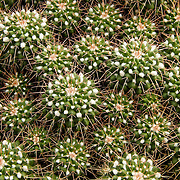 &quot;Pincushion Cactus&quot;<br /> <br /> These cute little guys here are known as Pincushion Cactus. Small in size, lovely in clusters, and beautiful in form!!<br /> <br /> Nature of this World by Rachel Cohen