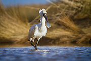 Royal Spoonbill in Invercargill Estuary, New Zealand