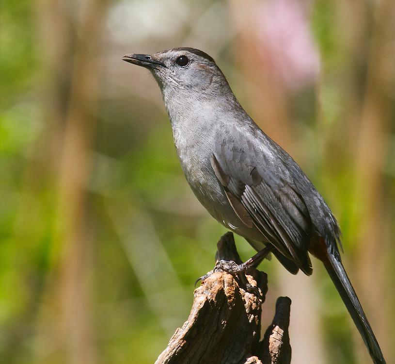 A catbird at the Local Fauna Garden.