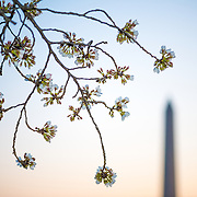 WASHINGTON DC--Flowering cherry blossoms against a background of the Washington Monument just before sunrise.