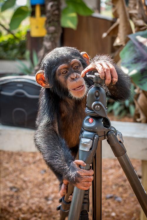 Chimpanzee (Pan troglodytes) curiously climbs a photographers tripod.Ganta Liberia