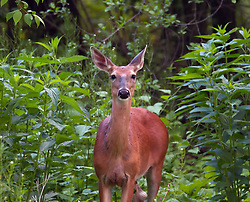 A beautiful white-tailed doe taking a moment to pose for a photo while we continue to enjoy her company while having dinner on the deck.