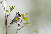 Golden-winged Warbler, Vermivora chrysoptera, male, Ogemaw County, Michigan