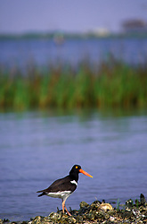 American Oystercatcher (Haematopus palliatus) on the shore