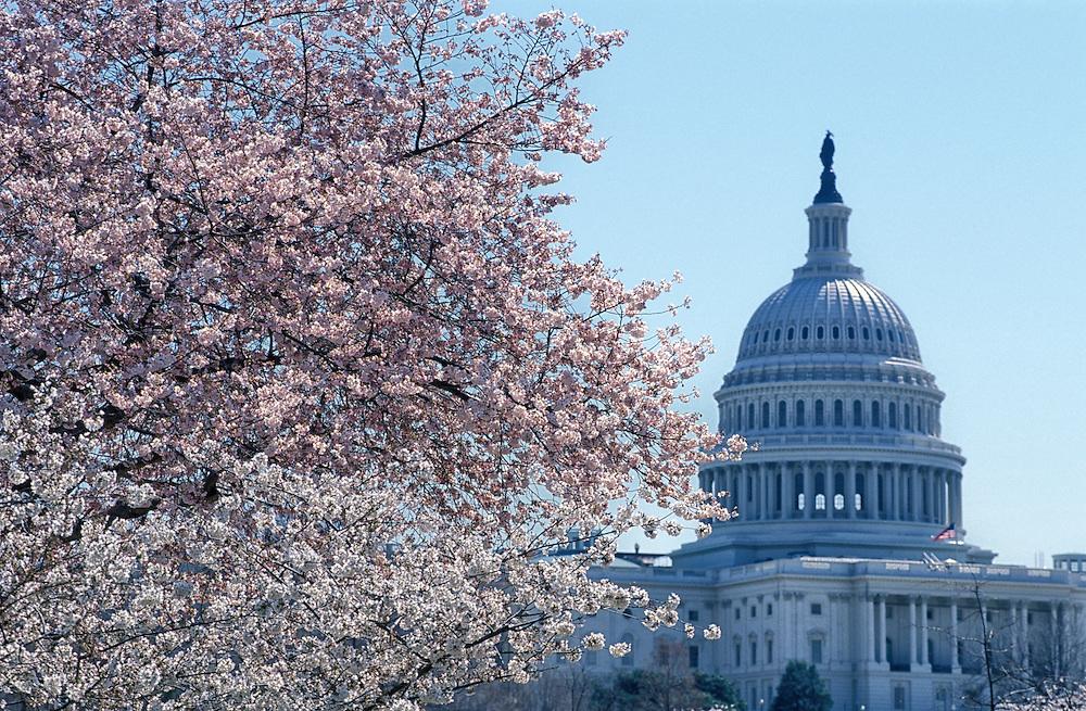 Cherry Blossoms with US Capitol, The Mall, Washington D.C. , USA