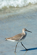 Willet, Tringa semipalmata, one of the shorebirds, striding along the beach shoreline at Captiva Island, Florida USA
