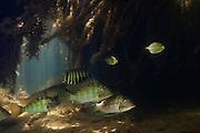 Demon Fish or Eartheater (Satanoperca leucosticta)<br /> Karanambu<br /> Rupununi<br /> GUYANA<br /> South America