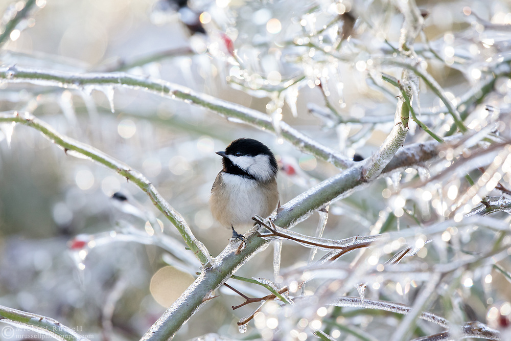 An alert Black-capped Chickadee (Poecile atricapillus) perched on an ice covered rose branch after an ice storm (freezing rain) in the Fraser Valley of British Columbia, Canada.