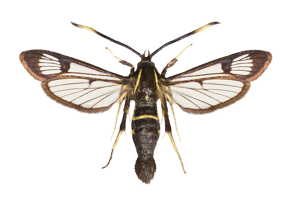 White-barred Clearwing - Synanthedon spheciformis