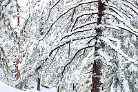 Snow-Covered Ponderosa Pine Trees on Mount Baldy, Angeles National Forest, California