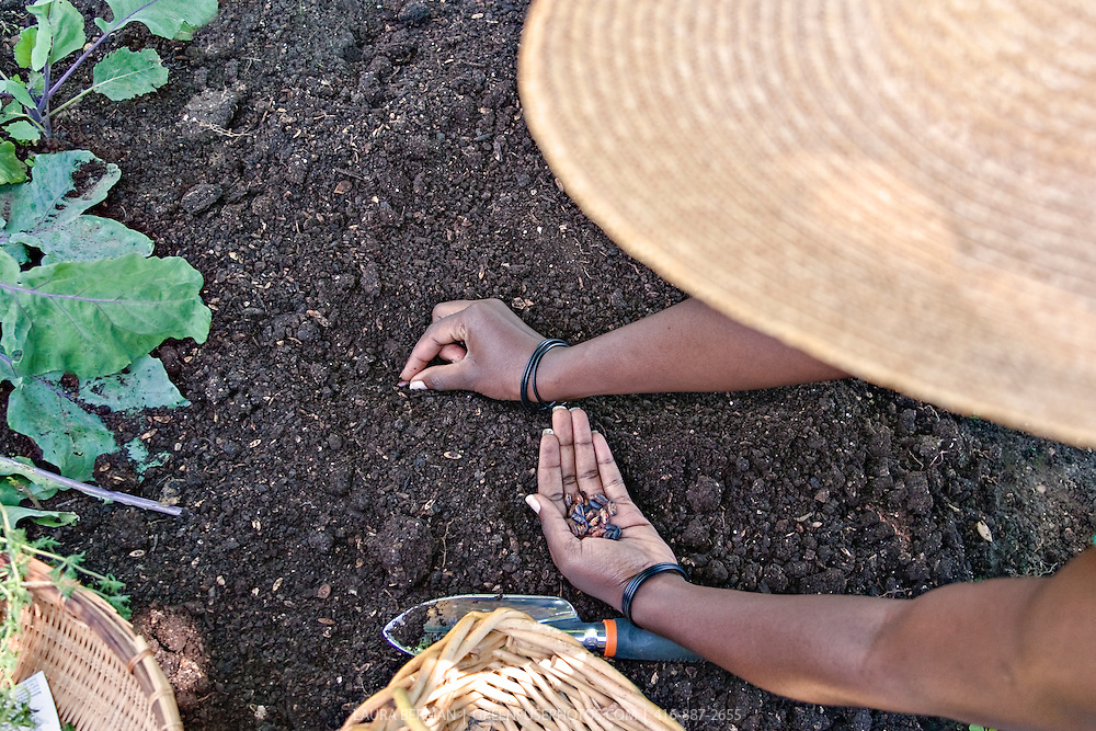 A gardener plants bean seeds directly in the rich dark soil.