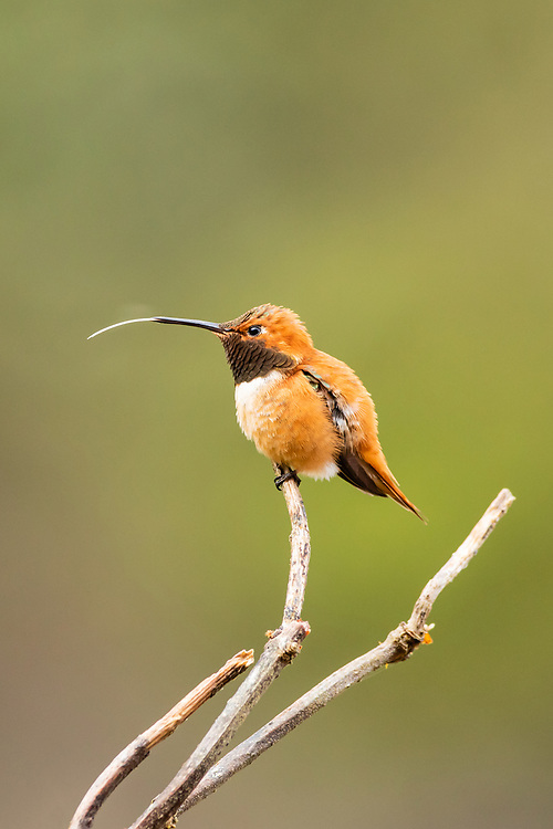 Rufous Hummingbird (Selasphorus rufus) perched on branch along Eyak Lake in Cordova in Southcentral Alaska. Spring. Afternoon.