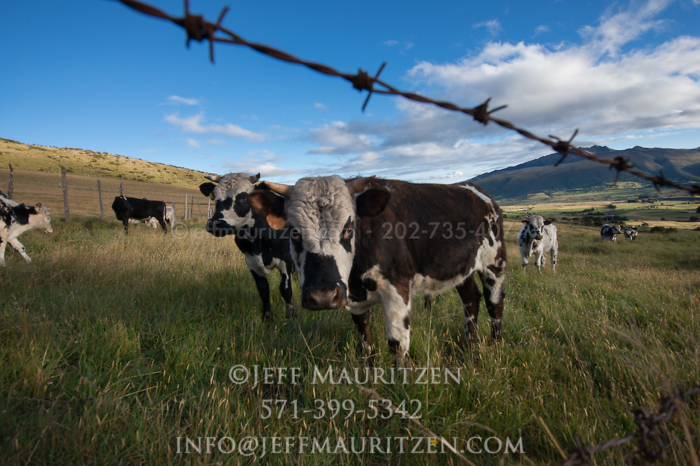Cattle graze at sunrise in a field, high up in the Sierra or Andes mountains of Ecuador.