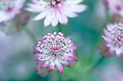 Astrantia seedling - masterwort