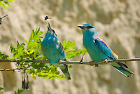 pair of European rollers, Coracias garrulus, female feeding on its courtship gift, Blauracke, near Nikopol, Bulgaria