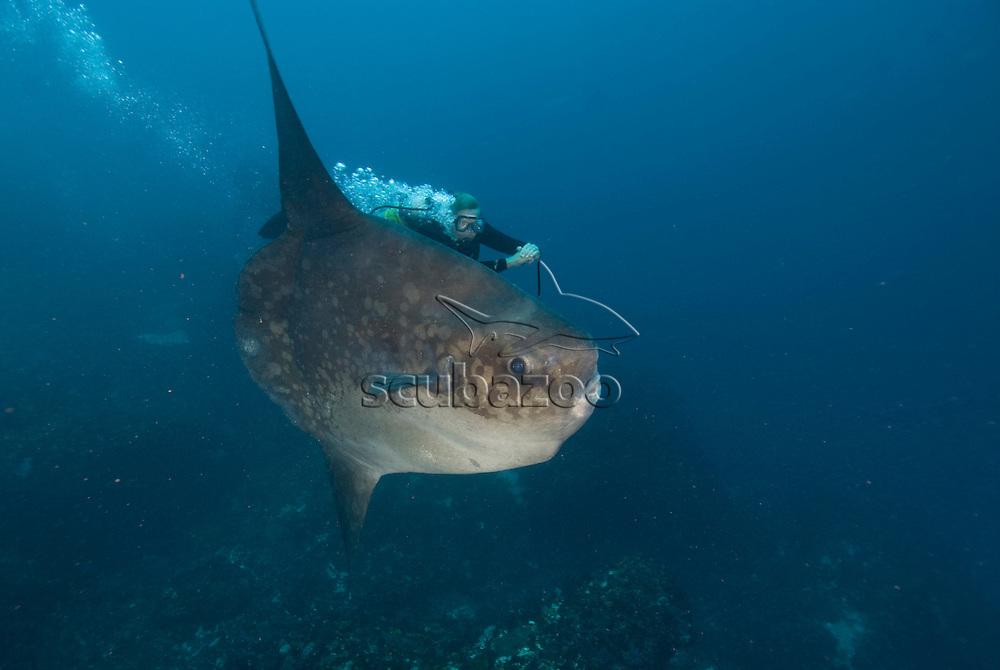 Ocean Sunfish, Mola mola, with diver, Great Ocean Adventures shoot, Bali, Indonesia.